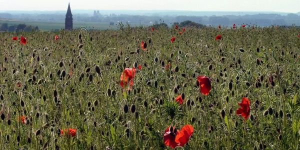Le Hamel  Poppies